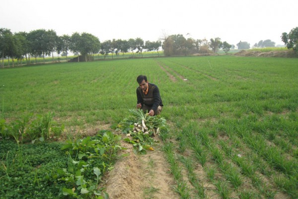 Healthy Crops and Vegetables under FAO Project at Tripari, Gurgaon