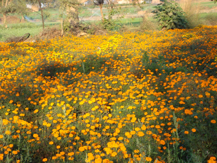 High Variety, high yield Marigold blooms at Tirpari.
