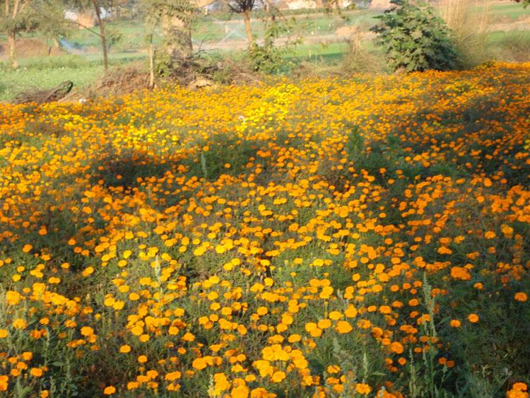 High Variety, high yield Marigold blooms at Tirpari.
